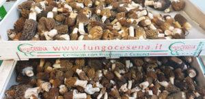 fungocesena_prodotti_funghi_bosco_spugnole