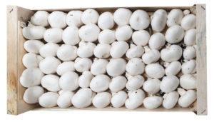 fungocesena_prodotti_funghi_coltivati_champignon_6_file_fioroncello